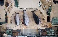 Sea Shepherd Condemns Japan's Criminal Conspiracy to Poach Whales in the Southern Ocean
